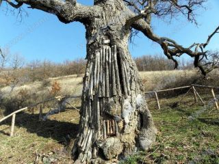 Вековен дъб в Боснек