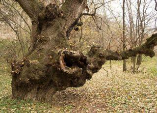 Дървото на желанията - вековен бряст