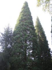 Вековни секвои в местността Ючбунар - Богослов