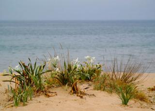 Резерват Пясъчна лилия