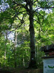Вековно дърво Големия бук