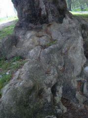 800 годишен чинар
