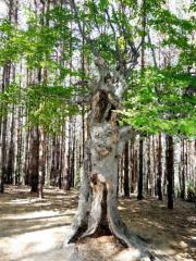 Вековно буково дърво