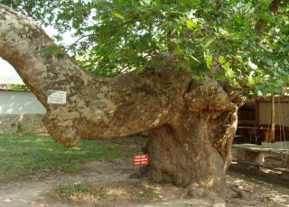 Източен вековен чинар